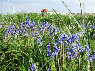 Bluebells near St Annes Pier